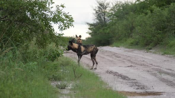 Thumbnail for Two wild dogs walking on a road