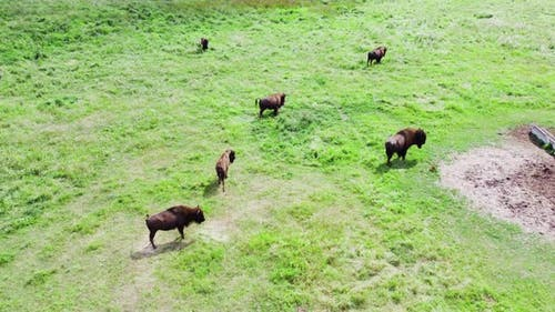 Large Herd Of American Bison In Wild Nature at Meadow Animal Breeding Ecology Exploration Power