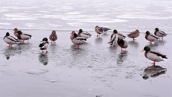 Ducks are Located on Thin Ice