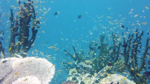 Thumbnail for Coral Reef with Fish Underwater. Leyte, Philippines.