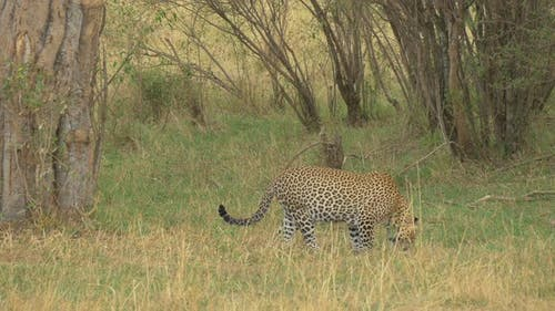 A leopard sniffing