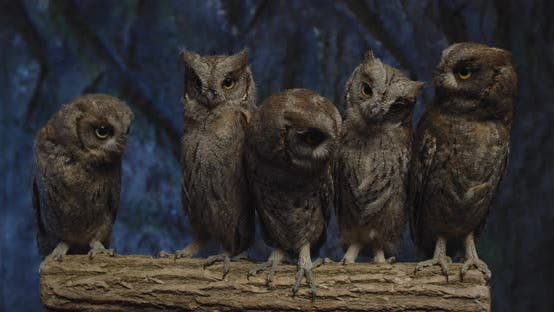 Cute Baby Owls with Big Eyes Are Looking Around From a Tree Branch,