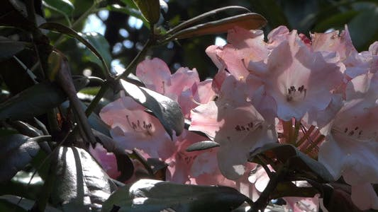Thumbnail for Pink Flowers - Azalea - Rhododendron - 12