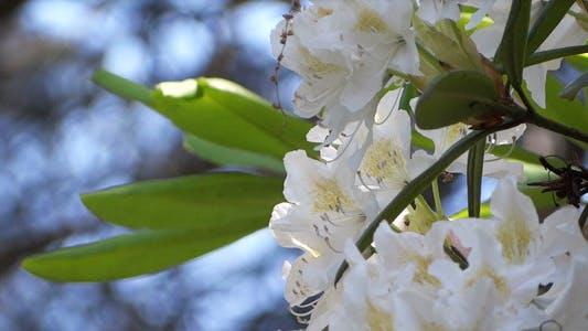 Thumbnail for White Flowers - Azalea - Rhododendron - 17