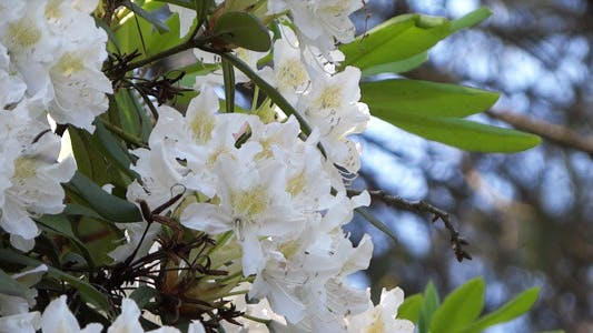 Thumbnail for White Flowers - Azalea - Rhododendron - 18