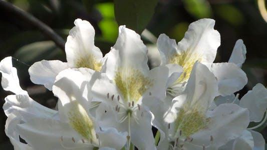 Thumbnail for Weiße Blumen - Azalee - Rhododendron - 23