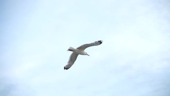 Thumbnail for Flight of a Seagull