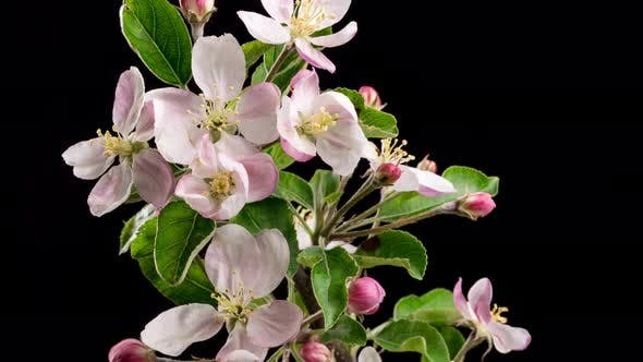 Cover Image for Fresh Isolated Fruit Flowers Blooming on Black Background on Apple Tree in Spring Time