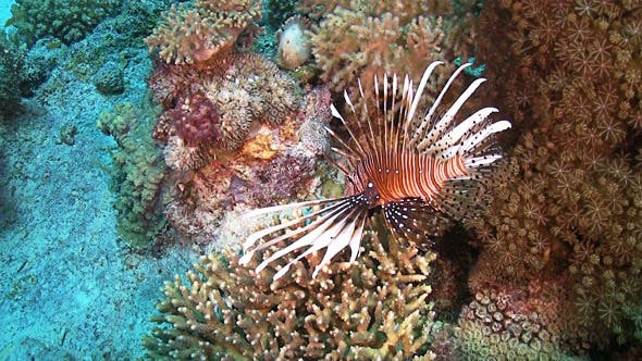 Thumbnail for African lionfish on Coral Reef 675