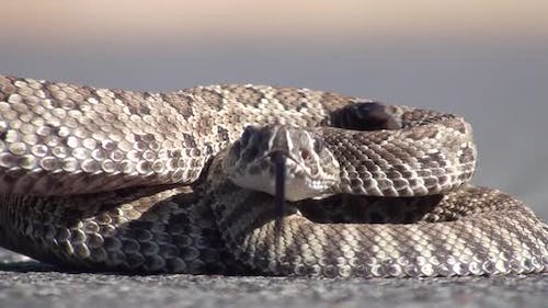 Prairie Rattlesnake Young Lone Aggressive Intolerance Rattling in Summer