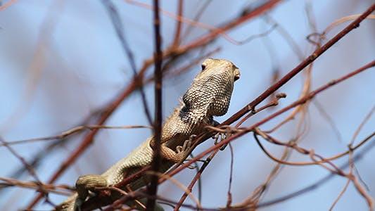 Wild Chameleon 01