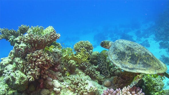 Thumbnail for Turtle Swimming Over Coral Reef 694