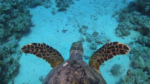 Cover Image for Turtle Swimming Over Coral Reef 700