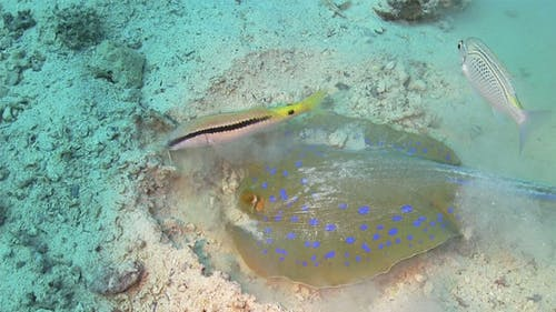 Blue Spotted Stingray In Search Of Food 740