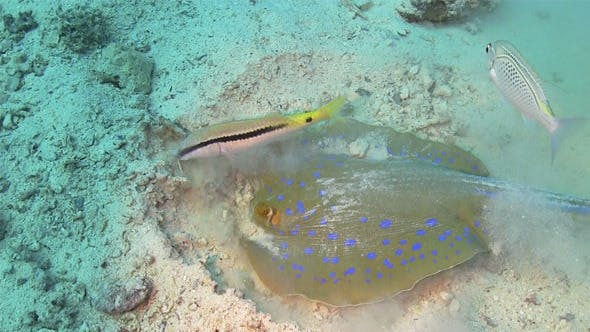 Thumbnail for Blue Spotted Stingray In Search Of Food 740