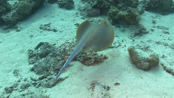 Thumbnail for Blue Spotted Stingray Under the Coral Reef 741