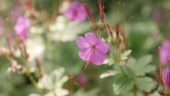Thumbnail for Geranium macrorrhizum pink flowers in tree shadow 4K 2160p 30fps UltraHD footage - Herbaceous perenn