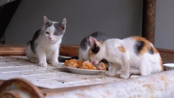 Thumbnail for Homeless Little Cats or Wild Kittens Eating Meat on the Street at Landfill