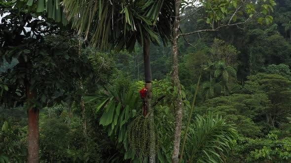 Gros plan d'un ara ara dans un palmier et révélant la forêt tropicale amazonienne environnante