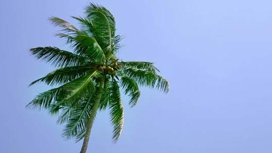 Thumbnail for Low Angle View Of Coconut Palm At Wind