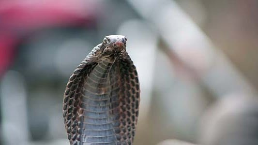 Thumbnail for Portrait Of Cobra In India