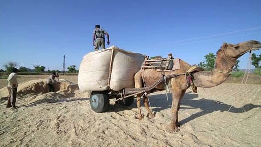 Thumbnail for Loading Straw Onto Camel-Driven Cart, India