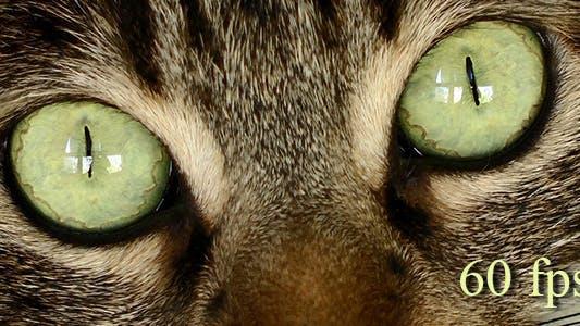 Thumbnail for Tiger Cat Eyes 1