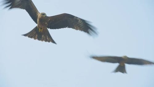 Group Of Hawk Flying Against The Blue Sky Over The Kappil Beach In Varkala, India. - close up shot