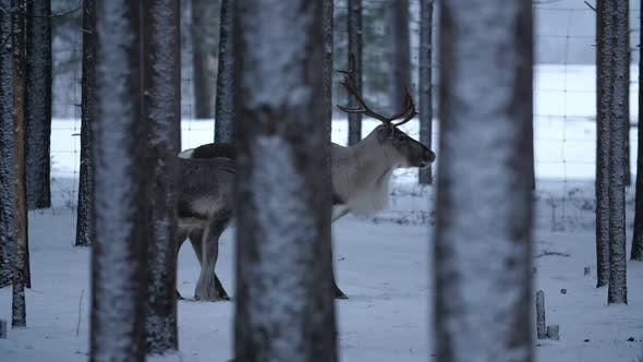 Big Male and Small Female Deer Standing Together in Snowy Pine Forest in Finland