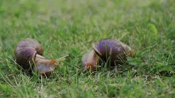 Thumbnail for Big Snails on a Green Grass