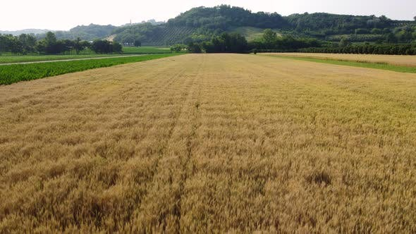 Wheat Field Agriculture Cultivation Aerial View
