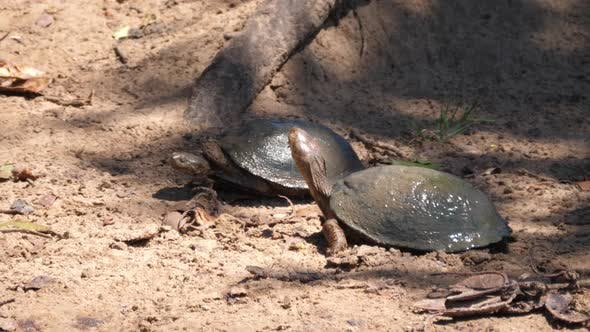 Two African helmeted turtle on the ground
