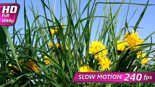 Dandelion Meadow in Bloom