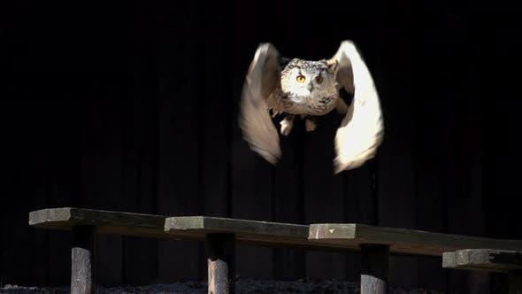 Beautiful Owl Bird Take Off Flying Away. Raptor Predator Animals Background