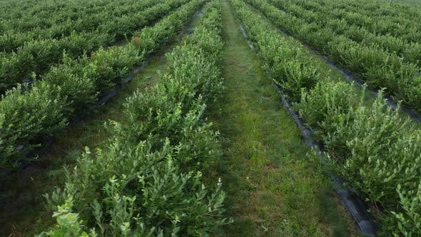 Thumbnail for Green Field of Blueberry Plantation in the Sunny Day. Blueberries Before Harvest. Aerial Footage