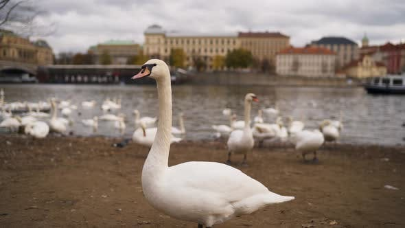 Cover Image for Swans on the Banks of the Vltava in Prague