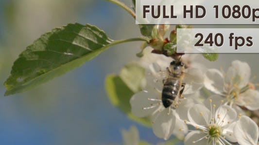 Thumbnail for Bee On Cherry Flowers