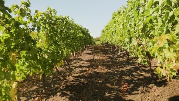 Thumbnail for Vineyard in Autumn, Walking