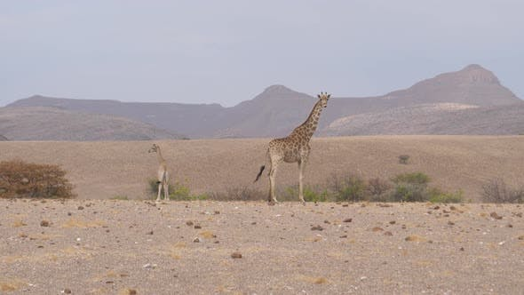Mother and baby giraffe standing together on a dry savanna