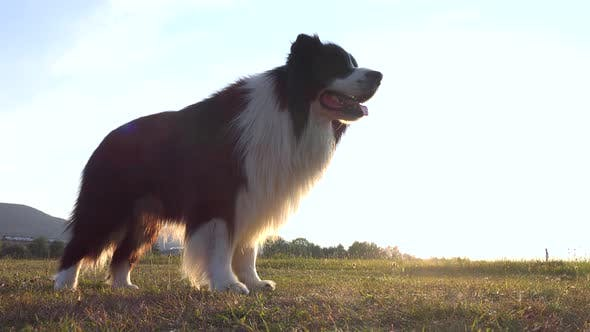 Cover Image for A Border Collie Lies Down on Grass in a Meadow - the Sun Shines in the Background