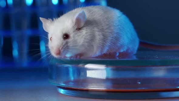 Thumbnail for Laboratory Mouse in a Modern Genetic Laboratory