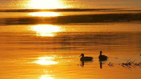Thumbnail for Ducks Swim in Waterat Sunset.