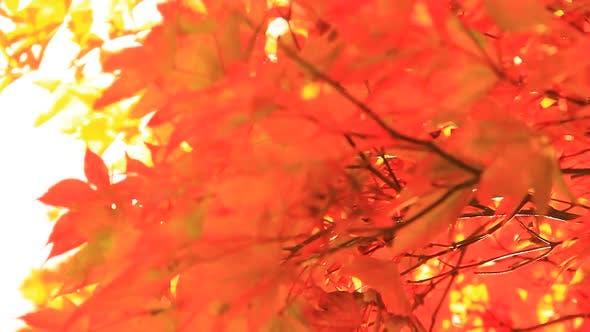 Thumbnail for Intensive Orange Maple