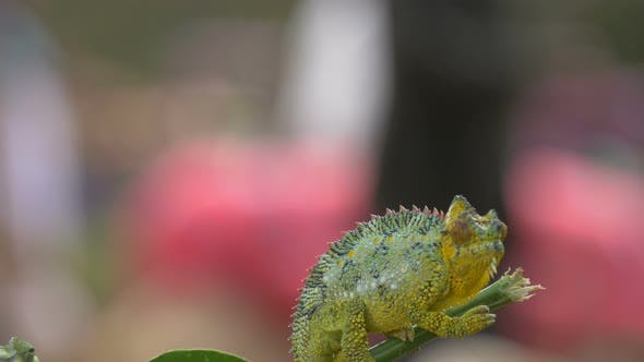 Chameleon sitting on a twig