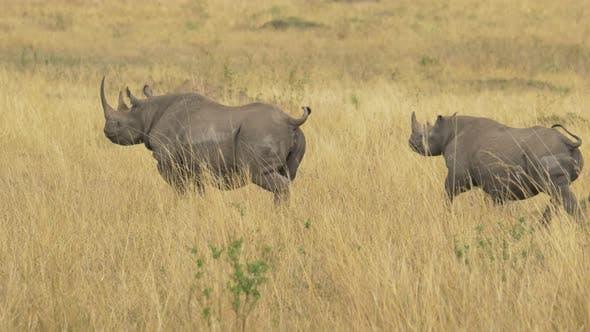 Thumbnail for Rhino mother and calf running in Masai Mara