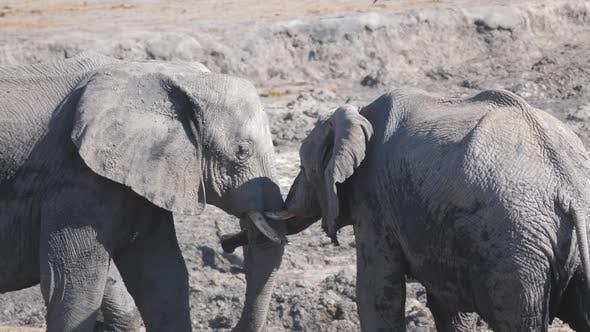 Two African elephants head to head