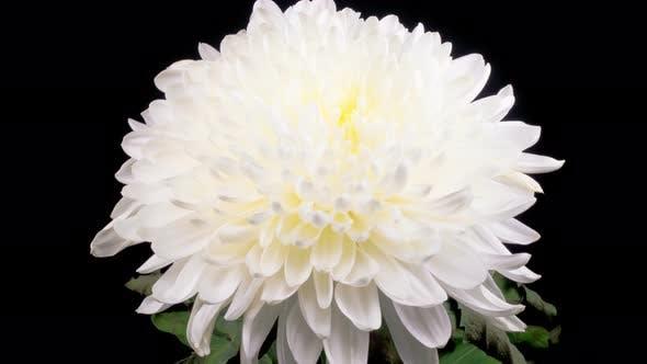 Thumbnail for Beautiful White Chrysanthemum Flower Opening