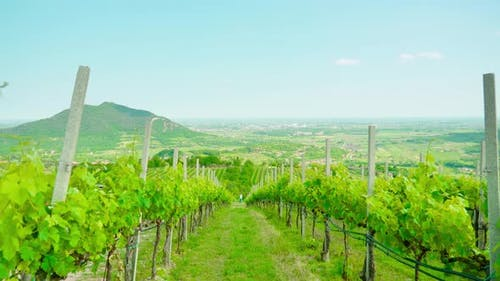 Green Grape Plants on the Venetian Hills