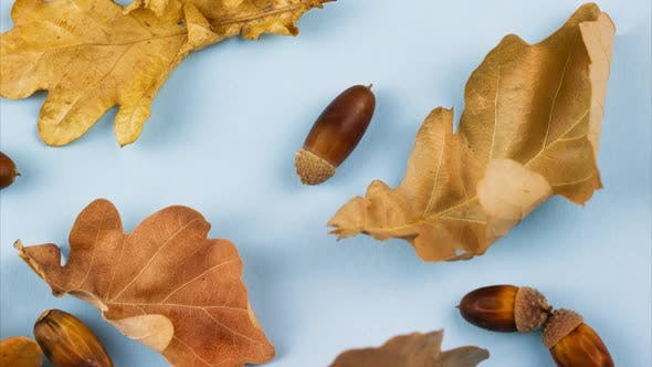 Dry Beautiful Autumn Oak Leaves with Acorns Lay on a Pastel Blue Background Closeup Slow Panning