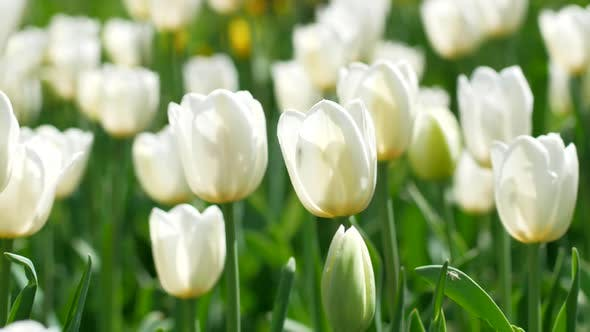 Thumbnail for White tulips close-up